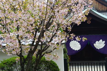 参道脇の桜