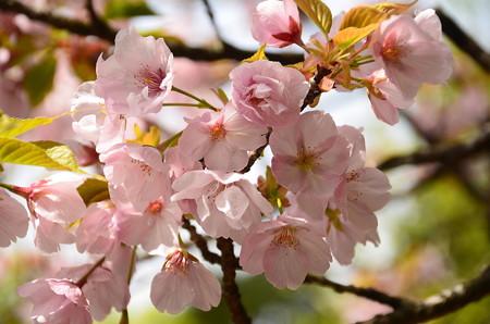 宝泉院の桜