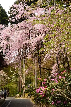 八重紅枝垂れと石楠花
