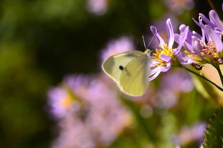 紫苑に止まる紋白蝶(モンシロチョウ)