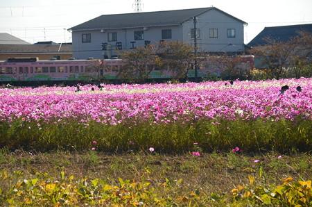 コスモス畑を走る近江鉄道