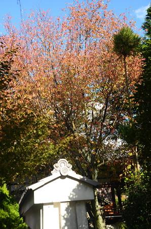 桜の色付き