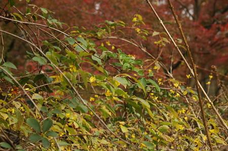 満開の連翹と紅葉
