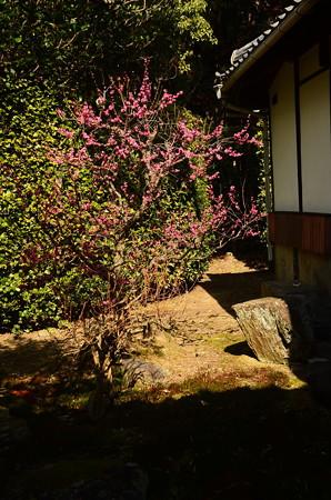 裏庭の紅梅