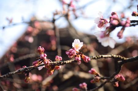 傍花閣脇の修善寺寒桜(シュゼンジカンザクラ)