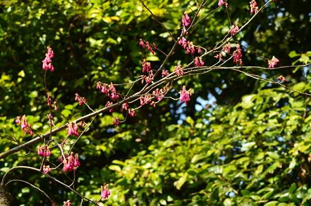 寒緋桜(カンザクラ)