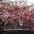写真: 一条戻橋の河津桜