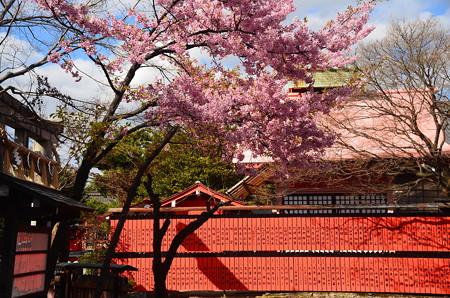 車折神社の河津桜(カワヅザクラ)
