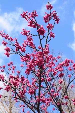 寒緋桜(カンヒザクラ)