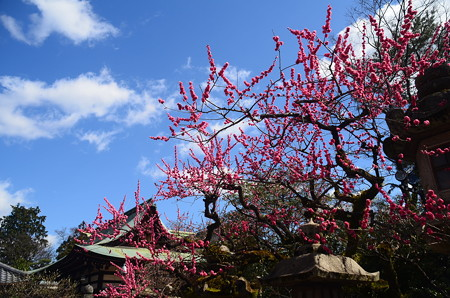 遅咲きの梅咲く北野天満宮