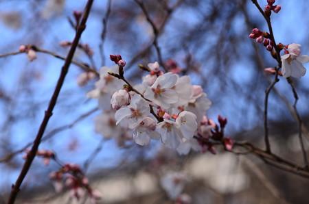 天理教分教会の桜