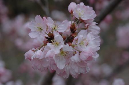唐実桜(  カラミザクラ)