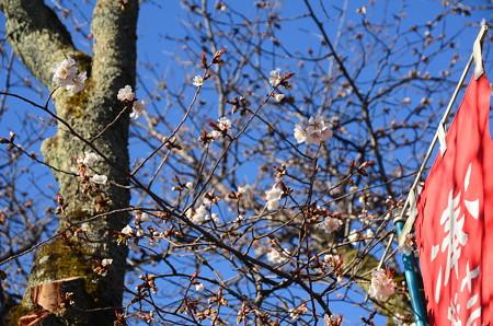 妙見宮前の山桜