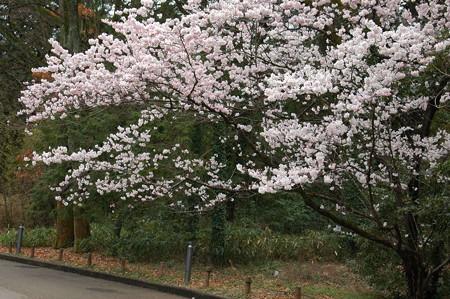 満開の東  海桜(トウカイザクラ)