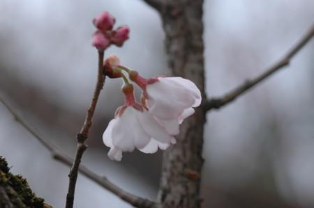 越の彼岸  桜(コシノヒガンザクラ)