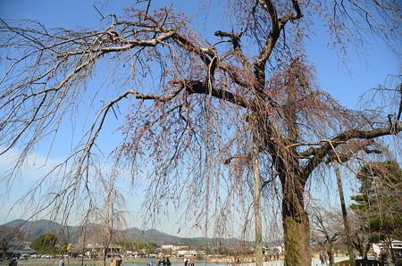 中ノ島公園の枝垂れ桜