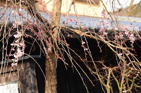湯どうふ嵯峨野脇の枝垂れ桜