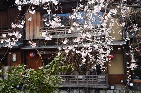祇園白川の枝垂れ桜