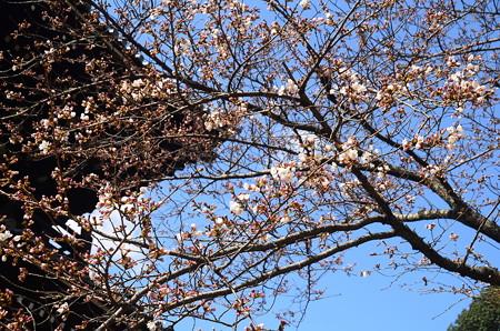 三門と咲き始めた染井吉野