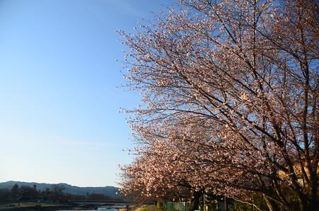 賀茂川の山桜