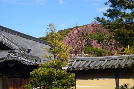 高台寺の枝垂れ桜