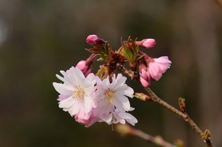 十月桜(ジュウガクザクラ)