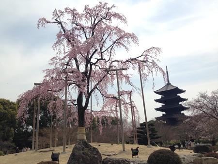 不二桜と  五重塔