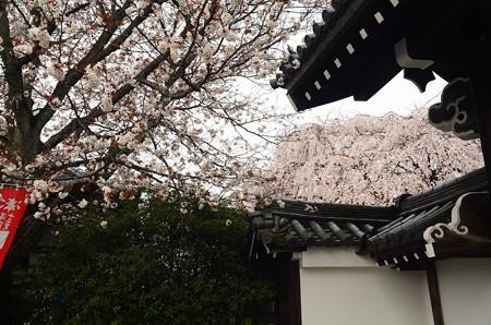 山桜と屋根越しの枝垂れ桜