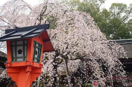 魁桜は盛りすぎに