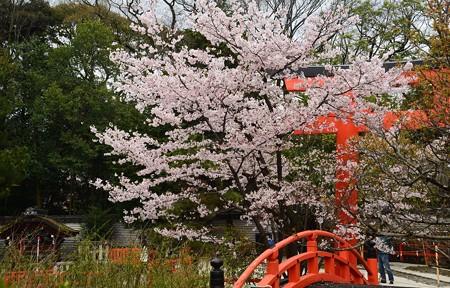 下鴨神社の染井吉野