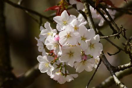 白桜(シロザクラ)