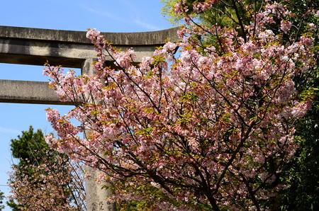 御香の宮参道の桜