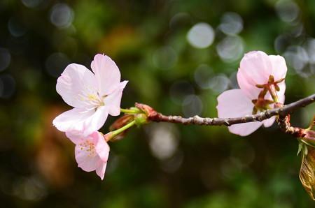大山桜(  オオヤマザクラ)