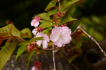 池脇の桜 2