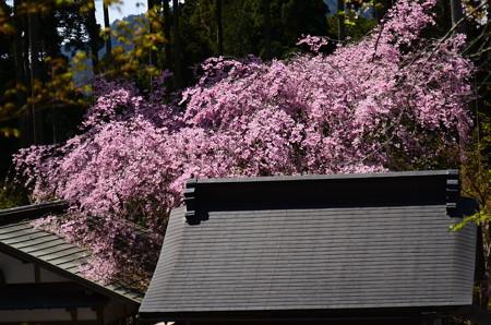 屋根を被う八重紅枝垂れ