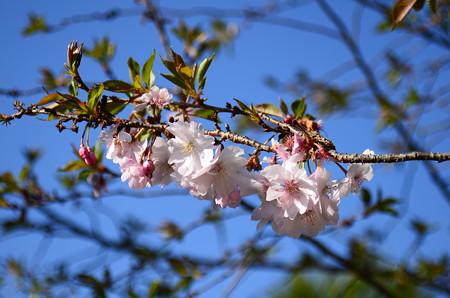 不断桜、、、、