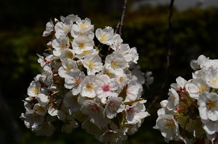 宜秋門前の桜