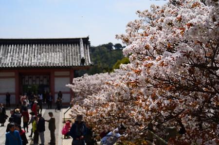 御室桜満開の仁和寺
