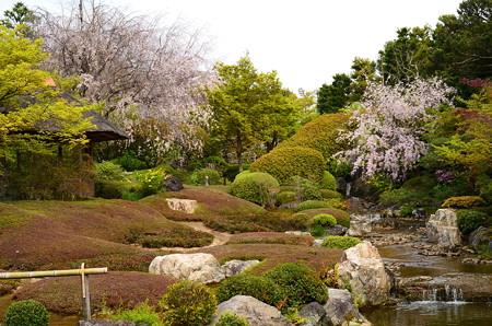 桜満開の余香苑