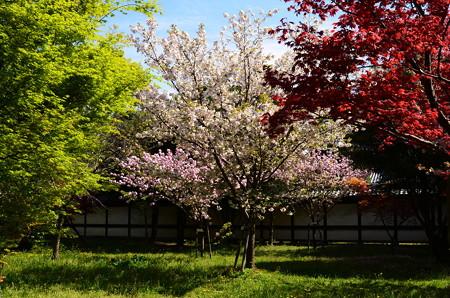 もみじの中の八重桜