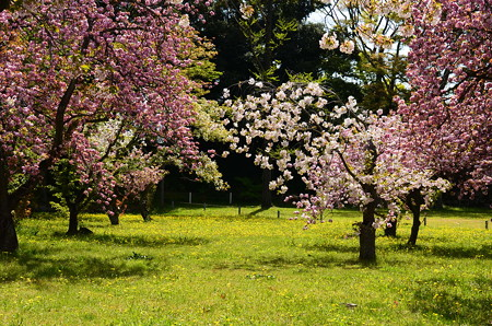 八重桜満開の二条城