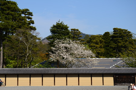 大宮御所の霞桜(カスミザクラ)