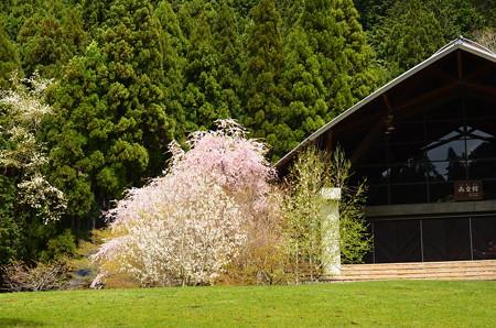花脊交流の森の八重紅枝垂れ