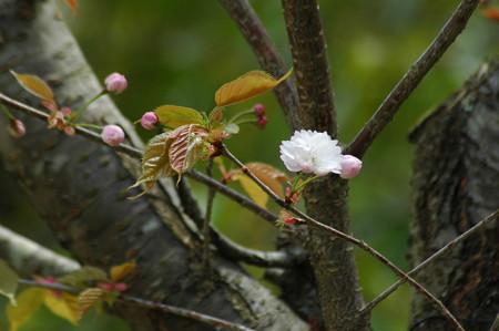 咲き始め  た奈良の八重桜(ナラノヤエザクラ)
