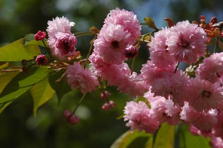 菊桜(キ  クザクラ)