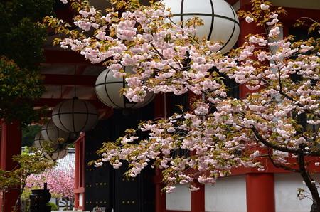 本殿金堂と桜