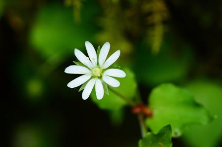 深山繁縷(ミヤマハコベ)
