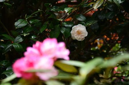 八重散り椿(ヤエチリツバキ)