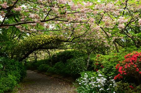 桜と黄木香薔薇のトンネル