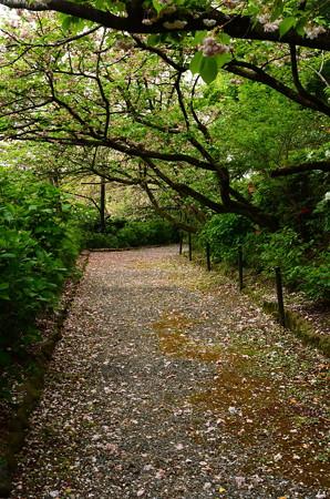 八重桜散る道